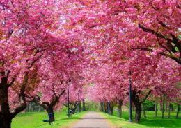 """""""Цвітіння сакури в Закарпатті"""" (3 дні)"""