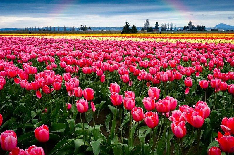 Чернівці – Долина Тюльпанів (1 день)